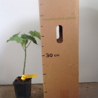 Papaya - Broad Leaf  For Sale (Size: Medium)  (Grown from Seed)