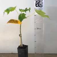 Papaya - Broad Leaf  For Sale (Size: Small)  (Grown from Seed)