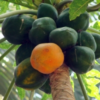 Papaya Fruit on Tree By sarangib [CC0 1.0 (https://creativecommons.org/publicdomain/zero/1.0/deed.en)] From Pixabay