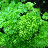 Parsley By No machine-readable author provided. Ranveig assumed (based on copyright claims). [Public domain], via Wikimedia Commons