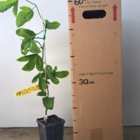 Passionfruit - Sweetheart For Sale (Size: Medium)  (Grafted)