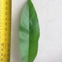 Leaf of the Peach Tropic Snow