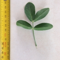 Leaf of the Peanut