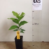 Peanut Butter Tree For Sale Super Tube