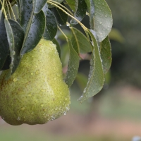 William Pear growing on Tree nearly ripe By Apple and Pear Australia Ltd [CC BY 2.0 (https://creativecommons.org/licenses/by/2.0/)] From Flickr https://flic.kr/p/DDKtgW