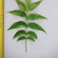 Leaf of the Pecan Apache B