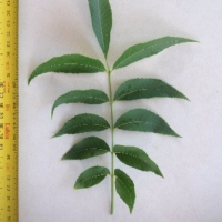 Leaf of the Pecan Cheyenne A