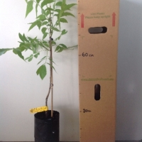 Pecan - Kiowa (B) For Sale (Size: Large)  (Grafted)