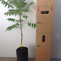 Pecan - Mahan (B) For Sale (Size: Large)  (Grafted)