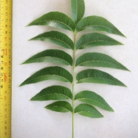 Leaf of the Pecan Mahan B