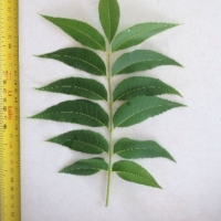 Leaf of the Pecan Pawnee A SP