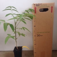 Pencil Cedar For Sale (Size: Medium)  (Grown from Seed)