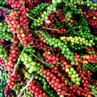 Black Pepper Ripening By John Picone [All Rights Reserved, Used By Permission]