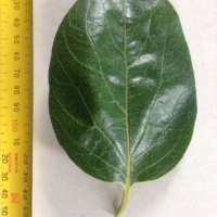 Leaf of the Persimmon Flat Seedless A