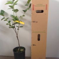 Persimmon - Hachiya (A) For Sale (Size: Large)  (Grafted)