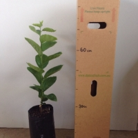 Persimmon Kaki Seedling For Sale 4 litre Bag