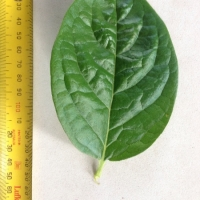 Leaf of the Persimmon Kaki Seedling