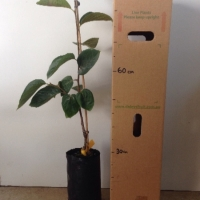 Persimmon Nightingale For Sale 4 litre Bag