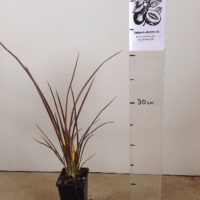 Phormium Bronze Baby For Sale Super Tube