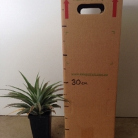 Pineapple - F180 For Sale (Size: Medium)  (Cutting Grown)