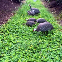 Guinea Fowls love foraging through the Pinto Peanut ground cover in our Exclusion Orchard By DaleysFruit.com.au [All Rights Reserved]