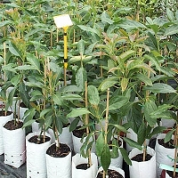 Grafted Avocados in deep 6 ltre bags By DaleysFruit.com.au [All Rights Reserved]