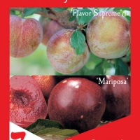 Plum 2 way Mariposa and Flavour Supreme By Flemings Nurseries [All Rights Reserved, Supplier of DaleysFruit.com.au]