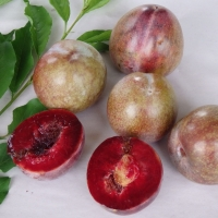 Plum Dorrigo Blood By DaleysFruit.com.au [All Rights Reserved]