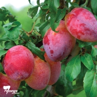 Luisa Plum By Flemings Nurseries [All Rights Reserved, Supplier of DaleysFruit.com.au]