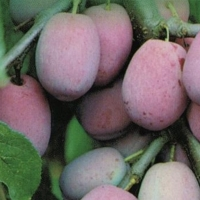 Plum - Prune  dAgen By JFT Nurseries [All Rights Reserved, Supplier of DaleysFruit.com.au]