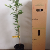 Plum Satsuma For Sale 165mm pot