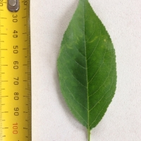 Leaf of the Plum Satsuma