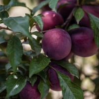 Plumscrumptious brings apricot and plum flavours together By Flemings Nursery [All Rights Reserved, Supplier of DaleysFruit.com.au]