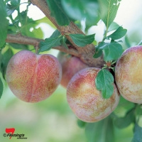 Pluot Flavor Supreme growing on Fruit Tree By Flemings Nurseries [All Rights Reserved, Supplier of DaleysFruit.com.au]