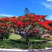 Poinciana Kyogle By DaleysFruit.com.au [All Rights Reserved]