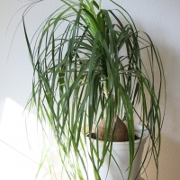 Ponytail Palm Tree growing in a white pot By Maja Dumat [CC BY 2.0 (https://creativecommons.org/licenses/by/2.0/)] From Flickr https://flic.kr/p/dasZTL