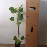 Poplar Cottonwood For Sale Mega Tube