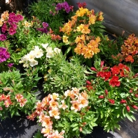 Potted selection of Alstroemeria varieties