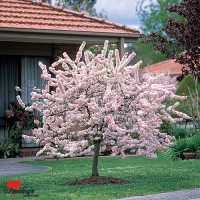 Prunus elvins flowering pink tree By Flemings Nurseries [All Rights Reserved, Supplier of DaleysFruit.com.au]