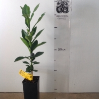 Pummelo Seedling For Sale Super Tube