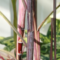 Purple sugar Cane Saccharum officinarum By Photo by David J. Stang [CC BY-SA 4.0  (https://creativecommons.org/licenses/by-sa/4.0)], via Wikimedia Commons