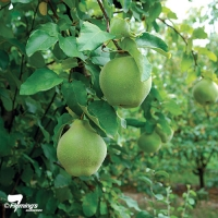 quince champion fruiting on the tree By Flemings Nurseries [All Rights Reserved, Supplier of DaleysFruit.com.au]