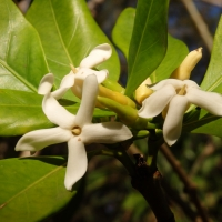 Native Gardenia Flowers By DaleysFruit.com.au [All Rights Reserved]