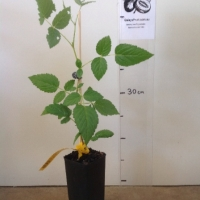 Raspberry - Atherton For Sale (Size: Small)  (Cutting Grown)