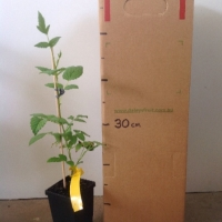 Raspberry - Atherton For Sale (Size: Medium)  (Cutting Grown)