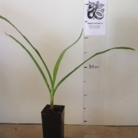 River Lily For Sale Super Tube