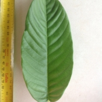 Leaf of the Rollinia Brazilian Custard Apple