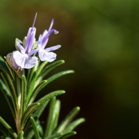 Rosemary Plants in Flower By ulleo [CC0 1.0 (https://creativecommons.org/publicdomain/zero/1.0/deed.en)] From Pixabay