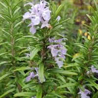Purple delicate flowers of the Rosemary herb plant