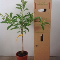 Sapodilla - Prolific For Sale (Size: Large)  (Grafted)